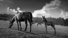 Horses BW photography
