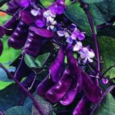 Hyacinth Bean Redleaved (Dolichos Lablab): Red Leaved Hyacinth Bean Vine is a fast-growing, climbing vine, producing dark crimson red foliage and fragrant deep purple flowers. Colorful seed pods & seeds;