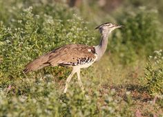 Kori bustard, Ardeotis kori, at Mapungubwe National Park, Limpopo, South Africa | by Derek Keats