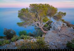 An old pine tree at dusk overlooking the sea. Prints available at http://giovanni-allievi.artistwebsites.com/art/all/all/all/landscapes