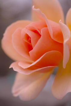 Apricot Rose by Tsutomu Akabane Garden: Flowers & Plants (CTS) All Flowers, Amazing Flowers, Beautiful Roses, My Flower, Beautiful Flowers, Flowers Gif, Flower Shape, Flora Und Fauna, Mother Nature