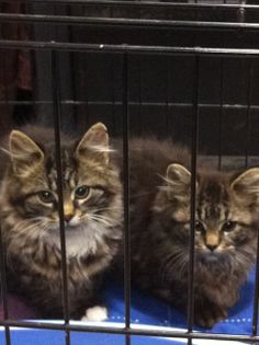 LONG-HAIRED TABBY KITTENS ~ ST-LAURENT GIRLS Foster / adoptive home needed immediately for 2 cute tabby kittens just rescued (Maine-Coon-type, 4 months old, long-haired, female, spayed, treated with Revolution, vaccinated shortly). They were slated for a Trap-Sterilise-Release program but were too precious to put back out into the cold. Available for adoption either together or separately through Cause 4 Paws no-kill rescue Montreal www.facebook.com/cause4paws