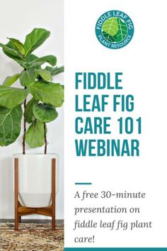 Register Now for Fiddle Leaf Fig Plant Care 101 - Join us for an exclusive webinar to learn everything about taking care of your fiddle leaf fig plant! In this 30 minute presentation, we'll review care tips, tricks, and answer your questions.