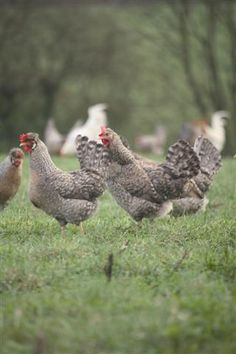 A normal looking chicken! organic farm gloucestershire
