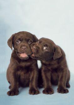 Mind Blowing Facts About Labrador Retrievers And Ideas. Amazing Facts About Labrador Retrievers And Ideas. Cute Puppies, Cute Dogs, Dogs And Puppies, Labrador Puppies, Doggies, Retriever Puppies, Labrador Retrievers, Corgi Puppies, Chocolate Labrador Retriever