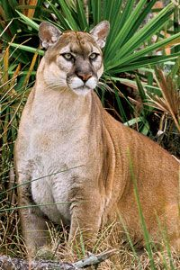 Florida panther... On the endangered list.  I was honored to see one in the wild.