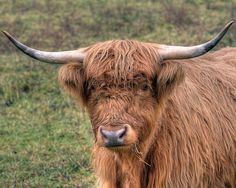 Scottish Highland Cattle   Scottish_Highland_Cattle_001_MG_0022_0_1_tonemapped_eMail.268154207 ...