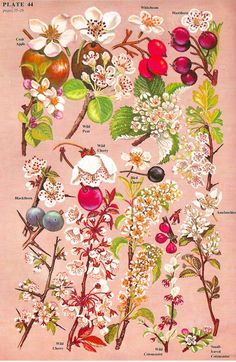Blossom and berries, botanical illustration. The Concise British Flora in Colour, W. Art Floral, Art And Illustration, Floral Illustrations, Vintage Botanical Prints, Botanical Drawings, Vintage Flower Prints, Botanical Flowers, Botanical Art, Botanical Tattoo