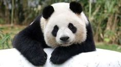 Giant Chinese panda Ai Bao rests at Everland amusement park on April 7, 2016 in Yongin, South Korea.