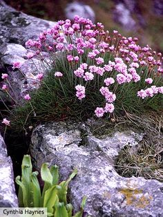 Thrift ~ A small, tidy plant, it covers itself with adorable bobbing pink flowers.