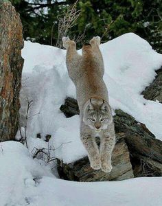 The last pinner called this a bobcat; it's actually a Canada lynx. They are generally much larger than bobcats and have ear tufts. I Love Cats, Big Cats, Cool Cats, Cats And Kittens, Nature Animals, Animals And Pets, Cute Animals, Wild Animals, Baby Animals