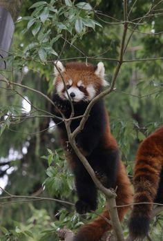 細い枝にも積極的に登っていきます。 Red pandas レッサーパンダ 小熊猫 Bear Cubs, Panda Bear, Scary Animals, Cute Animals, Animal Pictures, Cute Pictures, Amor Animal, Panda Love, Paws And Claws