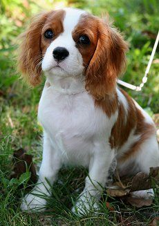 oh my gooodness. i need a king charles cavalier.