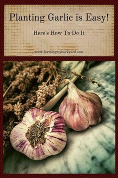 Planting garlic is so easy you can't mess up. You can even plant the garlic that's sitting in your cupboards! Seriously, it's amazing.