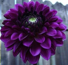 Beautiful Purple Dahlia. Great flower to put in an alum or student flower arrangement or TCU wedding bouquet. Great in small vases on table tops too.