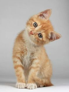 Want more cute kittens? Click the photo for more! - Catherine Capen - - Want more cute kittens? Click the photo for more! Want more cute kittens? Click the photo for more! Cute Baby Animals, Funny Animals, Animals Images, Wild Animals, Easy Animals, Arctic Animals, Ginger Kitten, Ginger Cats, Cute Little Kittens