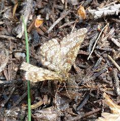 Common heath, male / Ematurga atomaria / Lyngmåler, hann