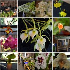 What followed me home from the Orchid Sale: Epidendrum Nocturnum - via the Dandelion Wrangler. #orchid #fragrant