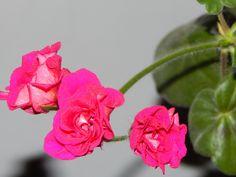 #fotopropia #flores ¿rosas rococo? #taringa - @yosoy200 - fotopropia flores taringa