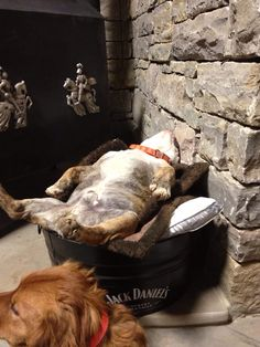 Riggs exhausted - staying warm by wood stove. English Bulldog