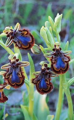 Mirror Bee Orchid Flower Horny male insects, thinking that the petals are a female, land on them and engage in fruitless attempts to .