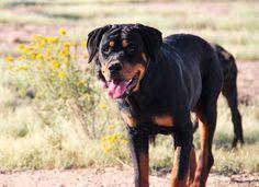 www.elitek-9.com/   #rottweiler #rottweilersofinstagram #rottie #executiveprotectiondogs #exotics Rottweilers, Luxury Life, Puppies, Dogs, Animals, Instagram, Luxury Living, Cubs, Animales