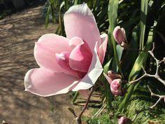 My garden, Burrawang Port Wine, Magnolia, Rose, Garden, Flowers, Plants, Photos, Ideas, Pink