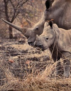 The rhino population in Zimbabwe has stabilized, good news for this mother and six-month-old baby.