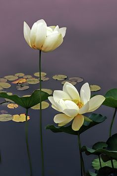 Lotus blossoms at the New York Botanical Garden. I have this image with a quote from Lord Byron in my Lotus Blossom gallery. Ikebana, Amazing Flowers, Beautiful Flowers, Exotic Flowers, Nymphaea Lotus, Lotus Flower Art, White Lotus Flower, Blue Lotus, Lotus Painting
