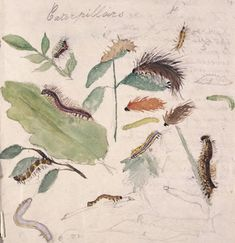 Beatrix Potter caterpillar study