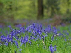I adore Bluebells! I took this shot at Britwell Hill, Oxfordshire a couple of years ago :0)