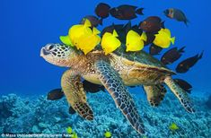 The Green Sea Turtle is common in the area known as Turtle Pinnacle, off the coast of Hawaii