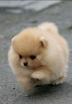 Cute Baby Dogs, Cute Dogs And Puppies, Pet Dogs, Doggies, Puppies Stuff, Dog Cat, Puppies Tips, Tiny Puppies, Fluffy Puppies