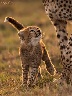 A Tender Moment - A cheetah cub looks up at its mother on the great plains of Africa...
