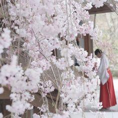 みあれ桜 by tsuiteruyuzuru on 500px