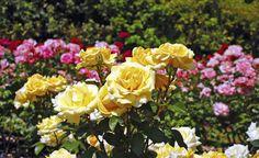 Bio-Tipps für gesunde Rosen -  Rosenrost, Wühlmäuse, Sternrußtau, Blattläuse – so schön die geliebten Rosen sind, allzu oft finden auch Krankheiten und Schädlinge die Pflanzen außergewöhnlich attraktiv, und statt der erwarteten Rosenblüte gibt es nur vertrocknete Stängel und braune Blätter. Mit unseren Bio-Tipps zeigen wir, wie Sie Ihre Rosen ganz ohne Chemie vor Schädlingen schützen und zu einer schönen Blüte bringen können.