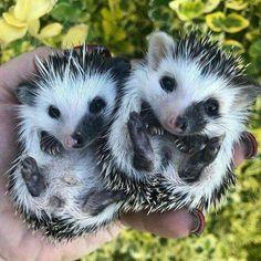 Cute Images Of Kawaii Animals Baby Animals Pictures, Cute Animal Pictures, Animals And Pets, Wild Animals, Pygmy Hedgehog, Cute Hedgehog, Cute Little Animals, Cute Funny Animals, Tier Fotos