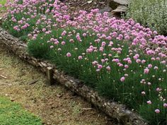 """""""Thrift"""" plant - good ground cover. Would look good with lavender and chicks and hens on slope or by mailbox"""