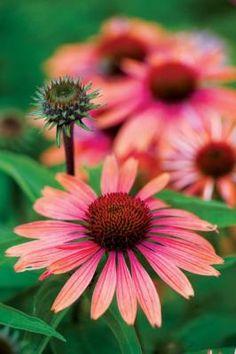 'Sundown' Echinacea- a personal fave- grown here three seasons so far.