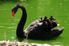 schwarzer Schwan in grünem Teich Foto by Darahkiin
