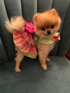 Marvelous Pomeranian Does Your Dog Measure Up and Does It Matter Characteristics. All About Pomeranian Does Your Dog Measure Up and Does It Matter Characteristics. Cute Puppies, Cute Dogs, Dogs And Puppies, Doggies, Baby Animals, Cute Animals, Save A Dog, Pomeranian Puppy, Pomeranians