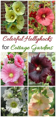 If you love cottage garden flowers, try growing hollyhocks. They add great height to a border and bloom all summer into early fall. Autumn Garden, Easy Garden, Lawn And Garden, Summer Garden, Garden Beds, Garden Care, Garden Plants, Growing Hollyhocks, Hollyhocks Flowers