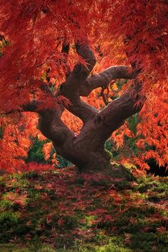 Autumn in Japanese Maple tree, Japanese Gardens in Portland, Oregon