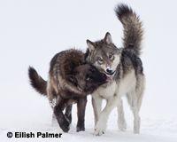Tell Washington: Don't Delist Wolves! - The Petition Site