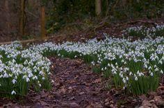 Snowdrop Path
