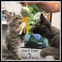 Ozzy & Zappa, two beautifull Maine Coone babyboys♥️♥️ Grooming Salon, Zappa, Maine, Diva, Bunny, Cats, Pictures, Animals, Photos