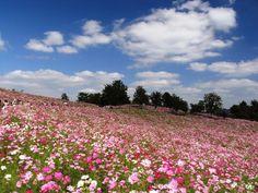 コスモス。昭和記念公園。