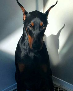 The Doberman Pinscher is among the most popular breed of dogs in the world. Known for its intelligence and loyalty, the Pinscher is both a police- favorite Animals And Pets, Baby Animals, Funny Animals, Cute Animals, Cute Puppies, Cute Dogs, Dogs And Puppies, Fun Dog, Doggies