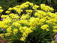"""A spring flowering Allium bulb, planted in the fall, is Allium Moly """" or Jeanine"""" or Golden Onion. It grows 12 inches tall and produces a circular floret of star shaped yellow flowers. Because of its small size, plant several in a group at the front of the border for a bright effect. This bulb is hardy from zones 3 to 9."""