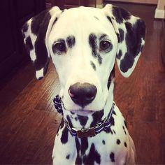 Selfie. Happy Saturday y'all!  #jackson #dalmatian #dalmatianpuppy #rbdogs #lovemyspots #weeklyfluff by jackson_the_dalmatian #lacyandpaws